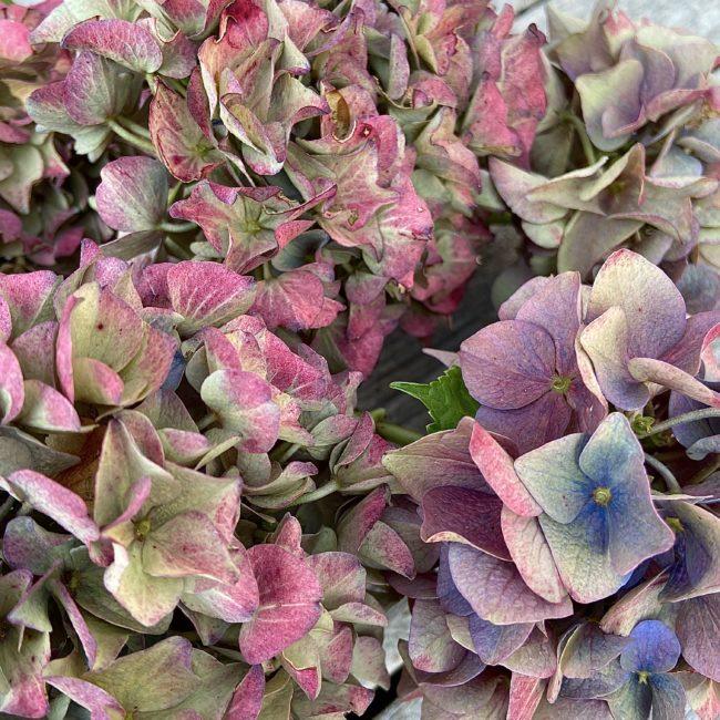 Nature - Multi Hydrangea
